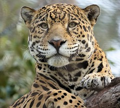 Lucha [In Explore 6/7/17] (greekgal.esm) Tags: jaguar bigcat cat feline animal mammal carnivore lucha rainforestoftheamericas losangeleszoo lazoo losangeles griffithpark california sony rx10m3 rx10iii