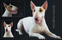 Bullterrier (Simone Schloen ☞ www.bilderimkopf.de) Tags: bullterrier hund dog weis white ohren nase zunge schnauze kopf porträt collage ears nose tongue snout head portrait