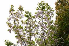 ichiyou_17421a (takao-bw) Tags: イチヨウ 一葉 桜 cherryblossoms sakura バラ科 rosaceae woodyplant 木本 plant 植物 japan