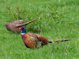 Common pheasant / Fasan (Phasianus colchicus)