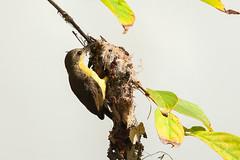 Olive-backed Sunbird (Cinnyris jugularis) (Sergey Pisarevskiy) Tags: olivebackedsunbird cinnyrisjugularis malaysia birds birdwatching wildnature wildlife