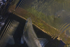 Coming and Going (brucetopher) Tags: river herring fish alewife alewives bluebackherring blueback water swim swimming school schooling pond stream brook natural nature life circleoflife spawning spawn baitfish bait waterfall ladder fishladder over upandover journey underwater clear