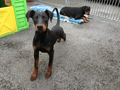 Streeeeetch - Young Dobermann Pinscher Saxon With Gabbana (firehouse.ie) Tags: animal animals dogs tan black k9 dobermanns dobermann pinschers pinscher dobermans doberman dobeys dobey dobies dobie dobes dobe dog puppy pup young saxon