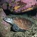 Green turtle - Chelonia mydas #marineexplorer