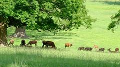 Woburn Abbey Deer Park (claude 22) Tags: woburn abbey gardens uk britain englishheritage woburnabbey bedfordshire mk179wa dukeofbedford deerpark deer park nature verdure green wild animal rural fuji fujifilm 18135mm
