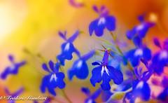 spring light (frederic.gombert) Tags: spring light sun summer flower flowers blue color colors orange macro nikon