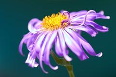mal coiffée le matin (rondoudou87) Tags: flower fleur macro color couleur close closer pentax k1 light lumière jaune yellow purple violet jardin garden reflex