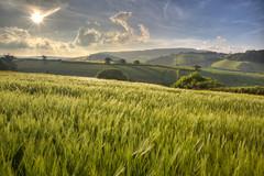 Barley Evening 151/365 (rmrayner) Tags: barleyfield evening landscape sunshine barley countryside notboredyet hills rural farming sky 151365 365project 365the2017edition crop agriculture clouds hdr rolling hss sliderssunday