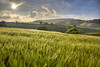 Barley Evening 151/365 (rmrayner) Tags: barleyfield evening landscape sunshine barley countryside notboredyet hills rural farming sky 151365 365project 365the2017edition crop agriculture clouds hdr rolling hss sliderssunday