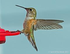 On Or Off ? (jimgspokane) Tags: hummingbirds hummers birds wildlife idahostate otw