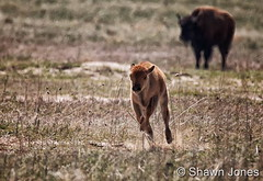 May 21, 2017 - A Bison calf tests out its running ability. (Shawn Jones)