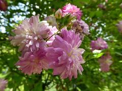 Rosa 'Louis mon ami' (Linda DV (away)) Tags: lindadevolder plantentuin nationalbotanicgardenofbelgium 2017 nature geotagged garden belgium meiseplantentuin meise panasonic lumix ribbet rosa rosaceae pinkflower rosales pink flower fleur bloem flor flora bloom blossom