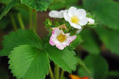 3716 Strawberry flowers (Andy - Busyyyyyyyyy) Tags: fff flowers ggg green leaves lll pink plants ppp sss strawberryplant white www