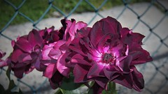 Burgundy Ice Rose (MissyPenny) Tags: burgundy burgundyice rose purple flower pennsylvania usa pdlaich garden rosegarden
