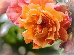 Après la pluie...la pluie! (Crilion43) Tags: arbres région véreaux feuillesfeuillage fleursetplantes centre paysages rosier roses massif villes