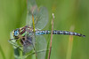 Hairy Dragonfly (.mushi_king) Tags: 500d dragonfly hairydragonfly nt wickenfen dioptre insect macro nationaltrust wicken