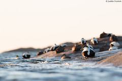Eiders in the morning (uusija) Tags: somateriamollissima bird eider haahka linnut luonto nature