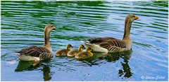 Pride And Joy III (lukiassaikul) Tags: wildlifephotography wildanimalswildbirds largebirds grealag goose geese goslings weststowcountrypark naturereserve suffolk uk
