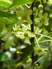 Pseudowintera axillaris (tammoreichgelt) Tags: flowers flower inflorescence winteraceae pepper tree lowland horopito