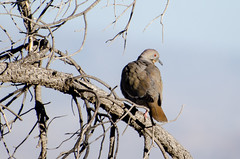 White-winged Dove (raymondwise) Tags: dove whitewingeddove zenaidaasiatica nikond7000 nature bigbend desert bird
