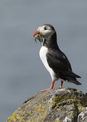 Puffin (Fratercula arctica) (Eastern Davy) Tags: puffin fraterculaarctica isleofmay scotland bird wildlife wild outdoor island canon 70d sigma 150500