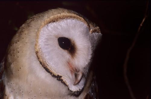 Western brn Owl portrait , looking Left 2120