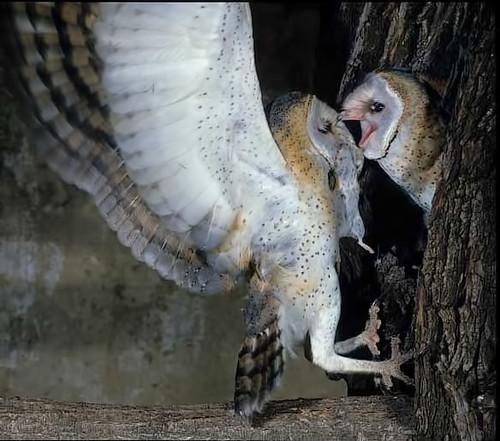 Western Barn Owl -feeding-chick at nest  entrance