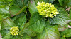 x20170531_110314 - hydrangea about to bloom (Lovelli) Tags: roper road flowers roses californian poppies fire hydrant sign fushias labour supporter