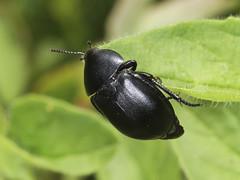 Black Snail Beetle - Silpha laevigata (Prank F) Tags: kettonquarry lrwt wildlifetrust ketton rutland uk wildlife nature insect macro closeup beetle silphidae black snail carrion burying silphalaevigata