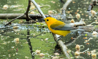 IMG_2131  Prothonotary Warbler