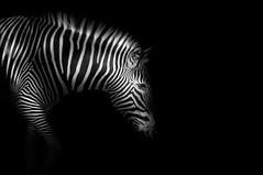 Zebra - High Profile B&W (lichtspur) Tags: zebra blackwhite contrast black background stripes animal view differentview art superb gallery invite nature mono monochrome sideview profile half
