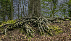 Big foot? (+Pattycake+) Tags: roots tree moss green leaves forest woodland beechtree entangled