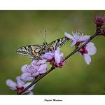 Papilio Machaon... thumbnail