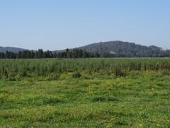 Weed infestation RTerrace NC 3 (Macleay Grass Man) Tags: weed senecio madagascariensis fireweed spear thistle cirsium vulgare fleabane erigeron bonariense conyza bonariensis sumatrensis