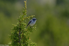 bluegray gnatcatcher (Brian Eagar Nature Photography) Tags: wild wildlife animal nature utahnature utahanimal utahwildlife outdoor outside bird utah utahbird fuji fujifilm fujinon 100400 xt2 spring may 2017