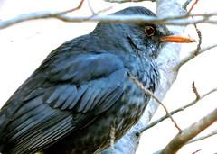 Common Blackbird, Turdus merula (asterisktom) Tags: 2017 trip201617iberiaafrica february spain valencia botanicalgarden bird vogel ave 鸟 niao птица 鳥 commonblackbird turdusmerula blackbird amsel