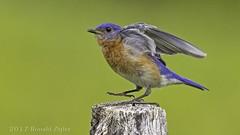 Eastern Bluebird: taking off or touching down? IMG_9789 (ronzigler) Tags: eastern bluebird birdwatcher avian canon 60d sigma 150600mm nature