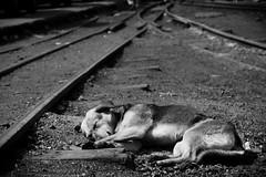 I don't give a f**k #1 (hydRometra) Tags: dogs buddhism buddismo cani toytrain india westbengal binari streetphotography fotodistrada railroadtracks bn bw darjeeling