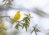 _53F7085 Yellow Warbler (~ Michaela Sagatova ~) Tags: birdphotography canonphotography michaelasagatova yellowwarbler