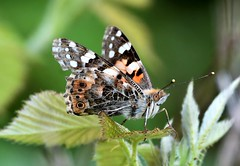 Painted Lady beauty. (pstone646) Tags: butterfly nature insect animal wildlife closeup beauty colours bokeh paintedlady kent fauna flora