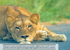 _DJA3676 copy (naturephotographywildlife) Tags: kruger wildlife scenery animals birdlife a99ii africa park lioness