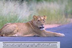 _DJA3649 copy (naturephotographywildlife) Tags: kruger wildlife scenery animals birdlife a99ii africa park lioness