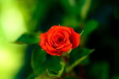Miniature Rose : ミニバラ (Dakiny) Tags: 2017 summer june japan kanagawa yokohama aoba ichigao outdoor nature field park plant tree flower flora rose macro bokeh nikon d750 nikkor 50mm f18 afsnikkor50mmf18g nikonafsnikkor50mmf18g nikonclubit