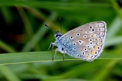argus bleu ( Polyommatus icarus ) Erdeven 170524e2 (papé alain) Tags: insectes lépidoptères papillons argusbleu polyommatusicarus erdeven morbihan bretagne france