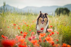 05/12 Nora,Love wicks (shila009) Tags: nora dog roughcollie happy poppies red flowers fields portrait spring flores rojo amapolas retrato