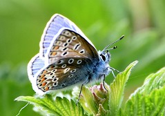 Beauty in blue. (pstone646) Tags: blue butterfly nature animal wildlife insect fauna closeup kent elmley sunshine feeding