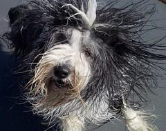 5-12 Baggins: Beach Day! (Explore #106) (Debbie G) Tags: baggins dog beach portrait beardedcollie 12monthsfordogs may 2017 yyj victoria bc