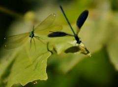 ballo di coppia... (andrea.zanaboni) Tags: libellule dragonfly ballo danza volo fly macro nikon insetti insects dance flickrsbest