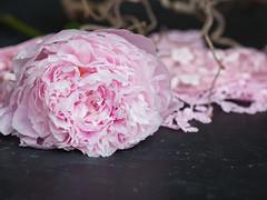 Pink peony with pink lace on a blackboard (SueBarni) Tags: single naturallight copyspace bud macro flower windowlight scarf lace closeup englishgarden peony summer onblack blackboard
