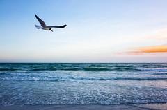 Gull of the Gulf (Billy Woolfolk) Tags: ricoh gr apsc mirrorless florida beach gulfofmexico ocean gull seagull morning リコー ミラーレス 海 鴎 メキシコ湾 フロリダ 朝 鳥 treasureisland stpetersburg saintpetersburg gulf